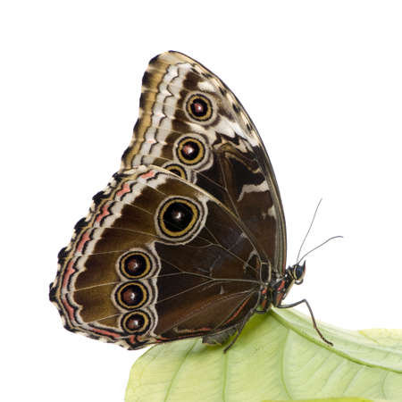 Morpho peleides butterfly in front of a white background photo