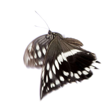 Hypolimnas bolina butterfly in front of a white background photo