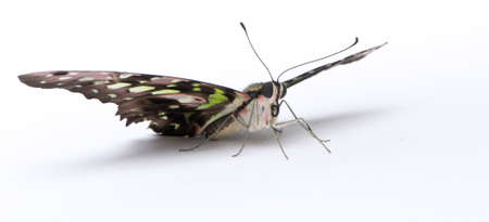 Graphium agamemnon butterfly in front of a white background photo