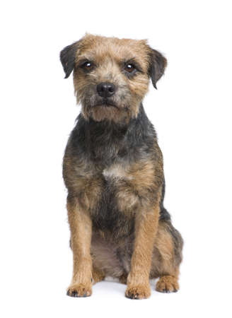 Border terrier in front of a white background Stock Photo - 3943208