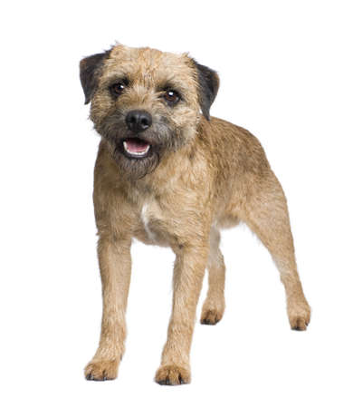 Border terrier in front of a white background Stock Photo