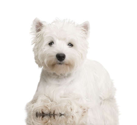 highland: West Highland White Terrier (8 months) in front of a white background