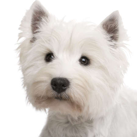 highland: West Highland White Terrier () in front of a white background