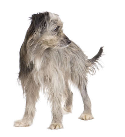 pyrenean: Pyrenean Shepherd (1 year) in front of a white background