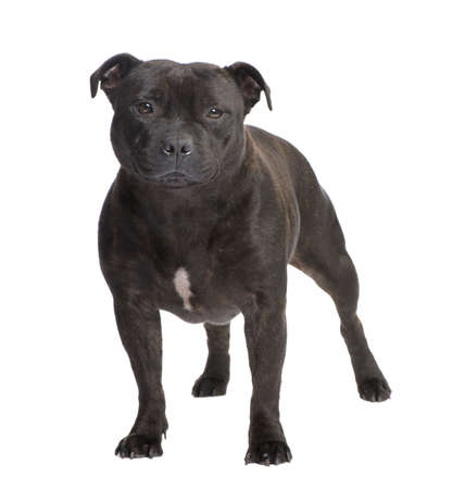 pit bull: Staffordshire Bull Terrier () in front of a white background