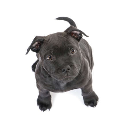 pup: puppy Staffordshire Bull Terrier (2 months) in front of a white background