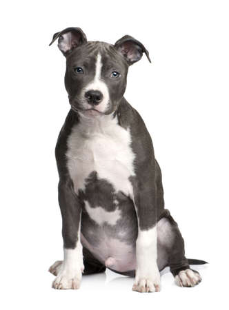 pit bull: American Staffordshire terrier puppy (3 months) in front of a white background Stock Photo