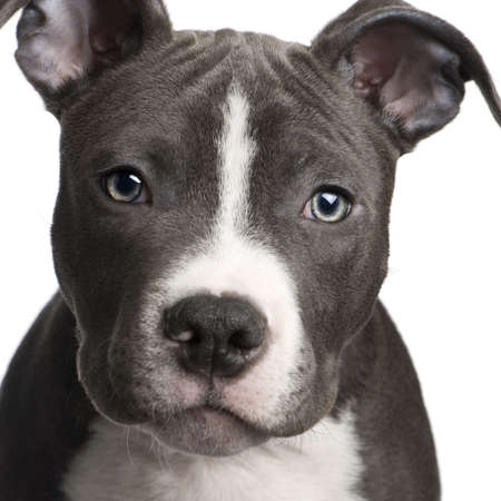 american staffordshire terrier: American Staffordshire terrier puppy (3 months) in front of a white background Stock Photo