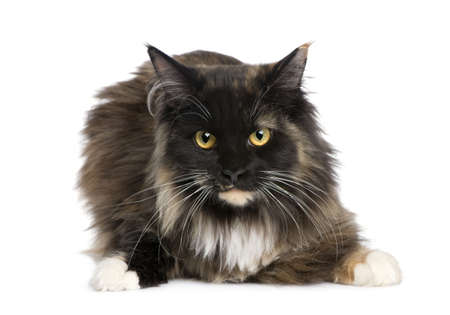 Maine Coon (11 months) in front of a white background photo