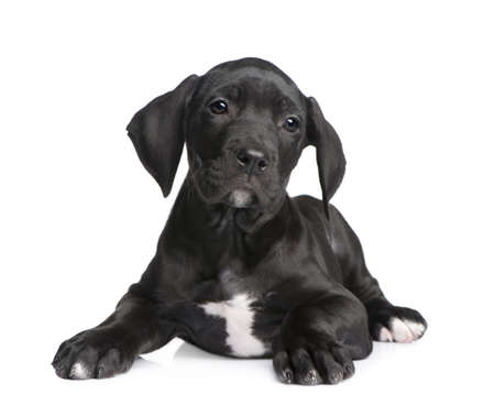 puppy Great Dane (2 months) in front of white background photo