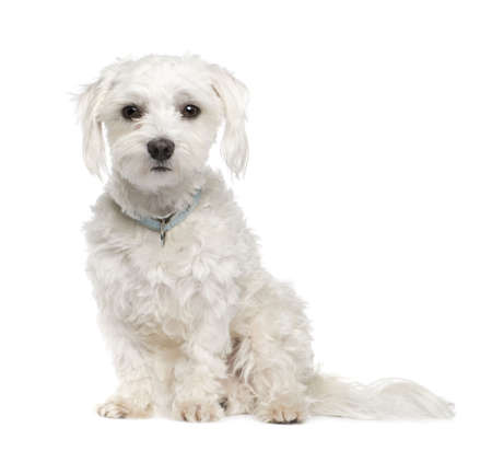 maltese dog (18 months) in front of A white background photo
