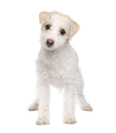 puppy Mixed-Breed Dog between maltese dog and a jack russel (5 months) in front of a white background photo