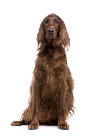 Irish Setter (3 years) in front of a white background photo