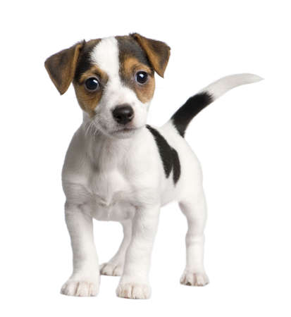weeks: puppy Jack russell (8 weeks) in front of a white background