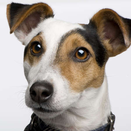 Jack russell (3 years) in front of a white background