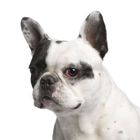 Close-up on a French Bulldog (5 years) in front of a white background  photo