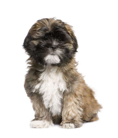 lapdog: Puppy Lhasa Apso (3 months) in front of white a background Stock Photo