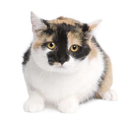 European cat in front of a white background photo