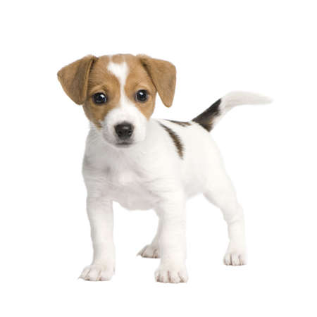 weeks: Puppy Jack russell (7 weeks) in front of a white background