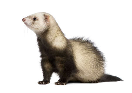 vertebrates: ferret in front of a white background Stock Photo