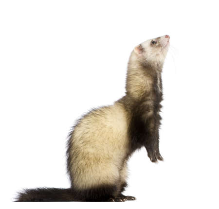 vertebrate: ferret in front of a white background Stock Photo