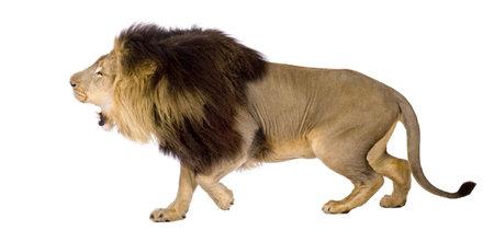 attacking: Le�n (4 a�os y medio) - Panthera leo en frente de un fondo blanco