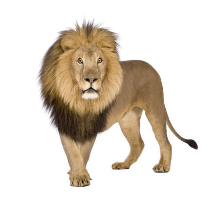 furry animals: Lion (8 anni) - Panthera leo davanti a uno sfondo bianco