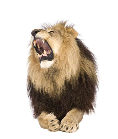 angry lion: Lion (4 and a half years) - Panthera leo in front of a white background Stock Photo