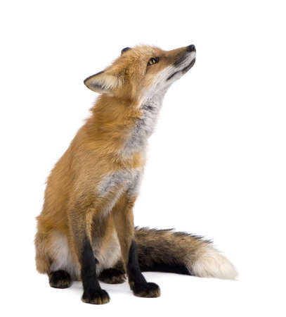 animal fox: Red fox (4 years) - Vulpes vulpes in front of a white background Stock Photo