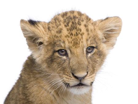 Lion Cub (7 semanas) delante de un fondo blanco