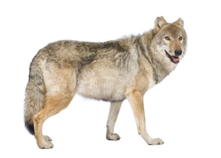 lupus: old European wolf - Canis lupus lupus in front of a white background