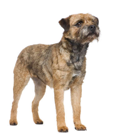 terriers: Border terrier in front of a white background Stock Photo