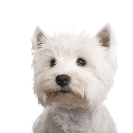 highland: West Highland White Terrier (3 years) in front of a white background