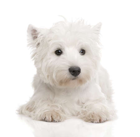 highlands: West Highland White Terrier (8 months) in front of a white background
