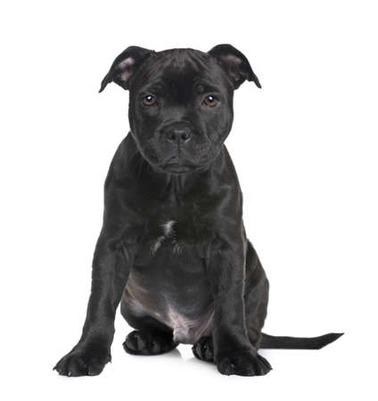 black and white pit bull: puppy Staffordshire Bull Terrier (2 months) in front of a white background