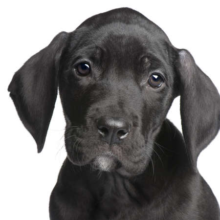 closeup puppy: puppy Great Dane (2 months) in front of white background Stock Photo
