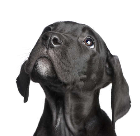 puppy Great Dane (2 months) in front of white background Stock Photo
