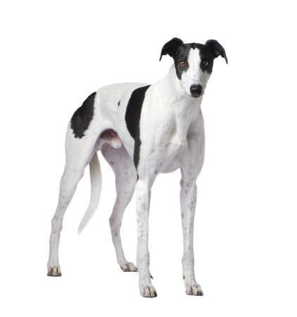 vertebrate: Greyhound in front of a white background Stock Photo