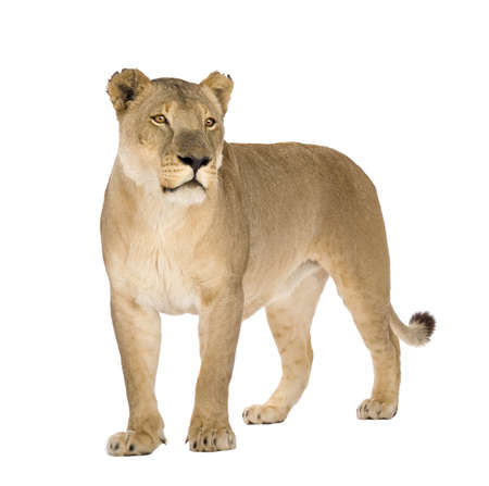 Lioness (8 years) - Panthera leo in front of a white background Stock Photo