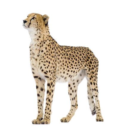 guepardo: Cheetah - Acinonyx jubatus delante de un fondo blanco