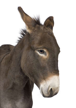 head shots: donkey ( 4 years) in front of a white background