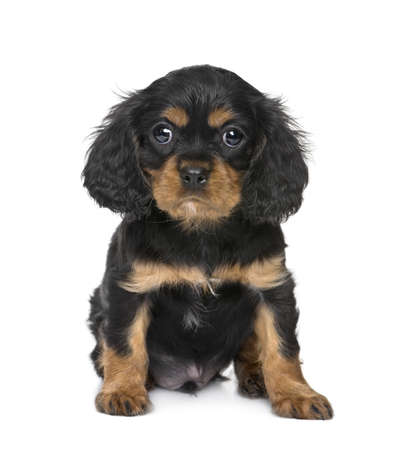 weeks: Cavalier King Charles puppy (7 weeks) in front of a white background Stock Photo