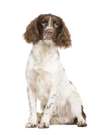 English Springer Spaniel (10 months) in front of a white background Stock Photo