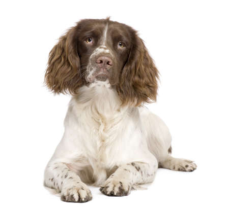 spaniel: English Springer Spaniel (10 months) in front of a white background Stock Photo