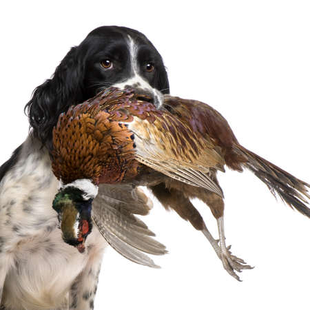springer: English Springer Spaniel  hunting (1 year) in front of a white background