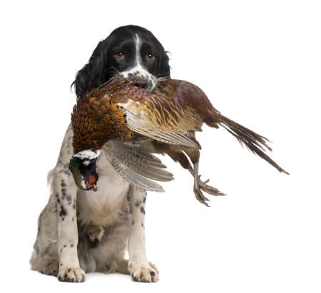 animals hunting: English Springer Spaniel  hunting (1 year) in front of a white background
