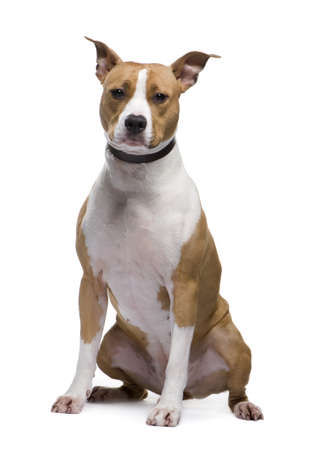 American Staffordshire terrier (18 months)in front of a white background