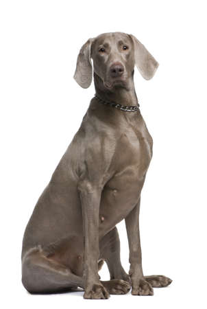 Weimaraner (2 years) in front of a white background