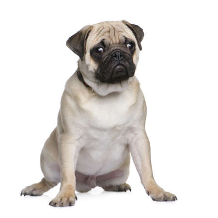 carlin: pug puppy (6 months) in front of a white background