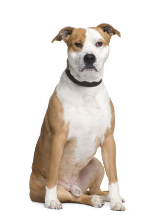 gardian: American Staffordshire terrier (2 years) in front of a white background